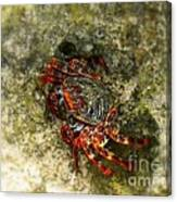 Crab In Cozumel Canvas Print