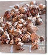 Crab Race Canvas Print