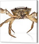 Crab Suriname Canvas Print