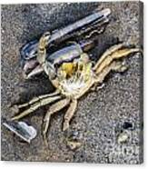 Crab With A Feather Canvas Print