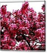 Crabapple Tree Blossoms Canvas Print