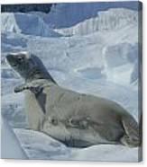 Crabeater Seal On An Iceberg Canvas Print