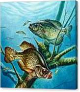 Crappie And Root Canvas Print