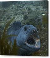 Crazy Catfish. Canvas Print