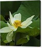 Cream Colored Lotus Canvas Print