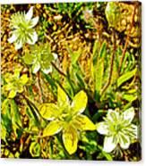 Cream Cups In Antelope Valley California Poppy Reserve-california  Canvas Print