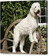Cream Labradoodle On Wooden Chair Canvas Print