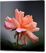 Creamy Peach Rose Canvas Print