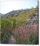 Creosote And Chuparosa On Henderson Trail In Santa Rosa-san Jacinto Nmon-ca Canvas Print