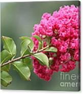Crepe Myrtle Branch Canvas Print