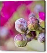Crepe Myrtle Buds Canvas Print