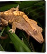Crested Gecko Rhacodactylus Ciliatus Canvas Print