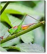 Cricket Meets Grasshopper Canvas Print