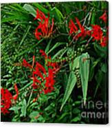 Crocosmia In Red Canvas Print