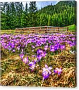 Crocus Flower Valley Canvas Print
