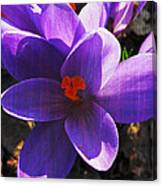 Crocus Purple And Orange Canvas Print