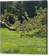 Crooked Apple Tree Canvas Print