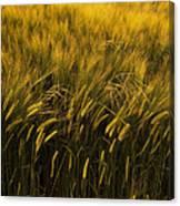 Crops Canvas Print