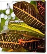 Croton Canvas Print
