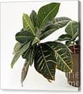 Croton Houseplant Canvas Print
