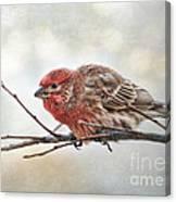 Crouching Finch 5x7 Canvas Print
