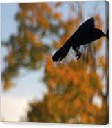 Crow In Flight 3 Canvas Print