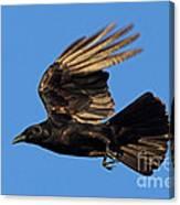 Crow In Flight Canvas Print