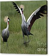 Crowned Cane Courtship Display Canvas Print