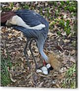 Crowned Crane And Eggs Canvas Print
