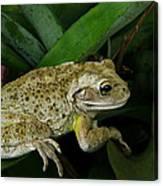 Cuban Tree Frog And Bromeliad. Canvas Print