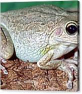 Cuban Tree Frog Osteopilus Canvas Print