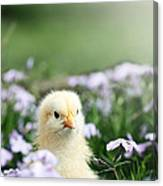 Curious Chick Canvas Print