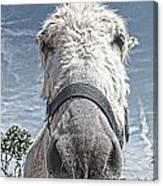 Curious Donkey Canvas Print