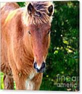 Curious Foal Canvas Print