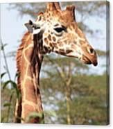 Curious Giraffe 2 Canvas Print