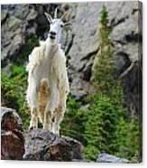 Curious Goat Canvas Print