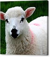 Curious Lamb Canvas Print
