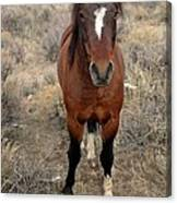 Curious Mustang Canvas Print