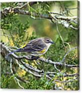 Curious Warbler Canvas Print