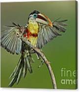 Curl-crested Aracari About To Perch Canvas Print