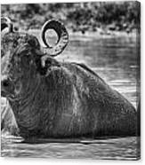 Curly Horns-black And White Canvas Print