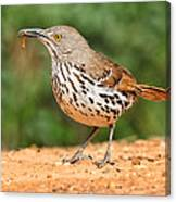 Curvedbill Thrasher With Grub Canvas Print