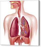 Cutaway Diagram Of Human Respiratory Canvas Print