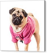 Cute Pug Wearing Sweater Canvas Print