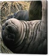 Cute Seal Canvas Print