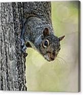 Cute Squirrel  Dare Me Canvas Print