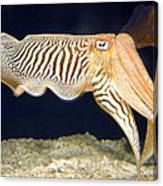 Cuttlefish 1 Canvas Print