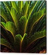 Cycad Sago Palm Canvas Print