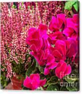 Cyclamen Flower Canvas Print