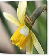 Cyclamineus Daffodil Named Jack Snipe Canvas Print